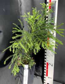 Giant Sequoia - Sequoiadendron giganteum, nummer R0840