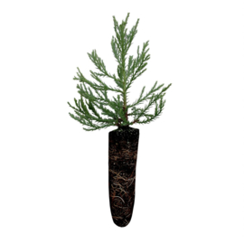 Giant Sequoia - Mammoetboom (medium)
