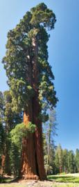 Giant Sequoia - Mammoetboom (medium)