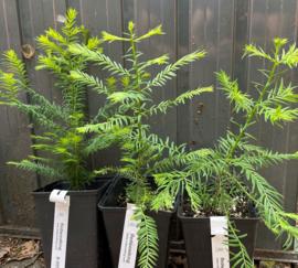 Twee eenjarige Coastal Redwoods (Sequoia sempervirens) van Europese kweek