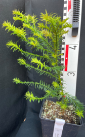 Coastal Redwood - Sequoia sempervirens, number R0505