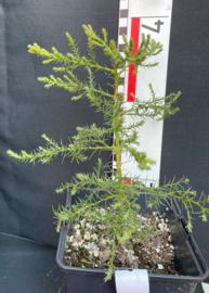 Giant Sequoia - Sequoiadendron giganteum, nummer R0502