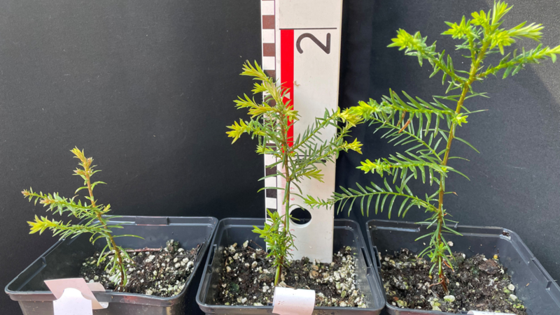 Two one year old Coastal Redwoods (Sequoia sempervirens) from European culture