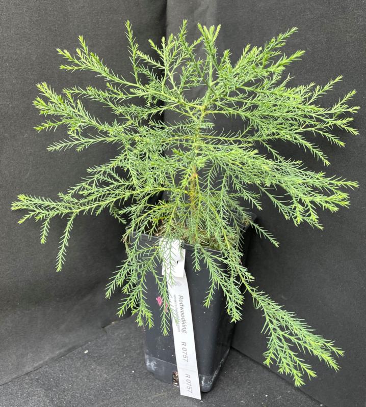 Giant Sequoia - Sequoiadendron giganteum, nummer R0693