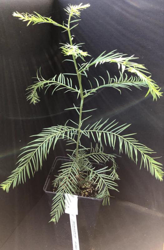 Küstenmammutbaum - Sequoia sempervirens, Nummer R0867