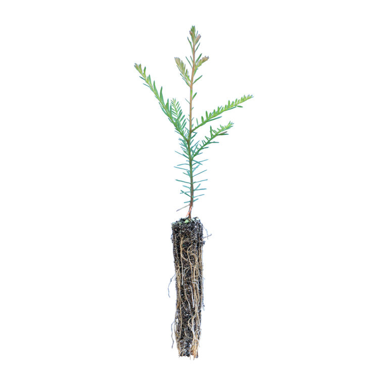 Coastal Redwood zaailing - Kustmammoetboom (klein)