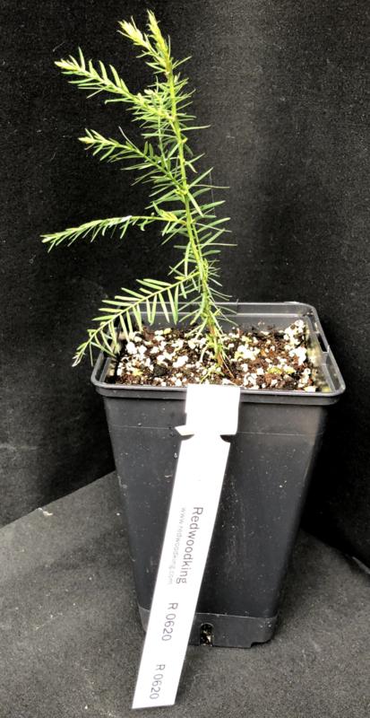 Young Coastal Redwood seedling, number R0620