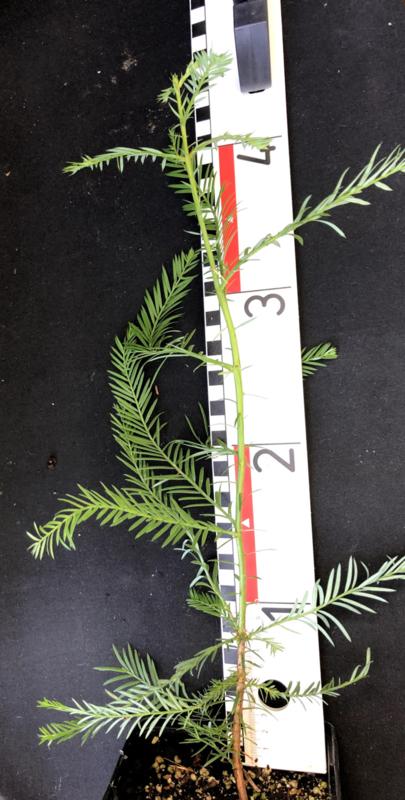 Küstenmammutbaum - Sequoia sempervirens, Nummer R0869