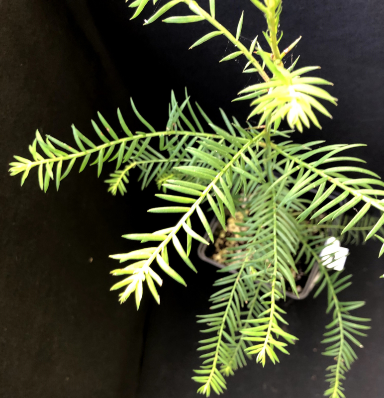 Coastal Redwood - Sequoia sempervirens, nummer R0489