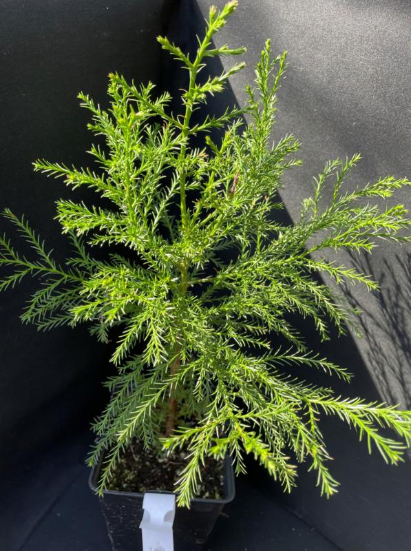 Giant Sequoia - Sequoiadendron giganteum, number R0836