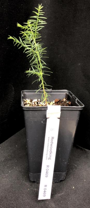 Coastal Redwood - Kustmammoetboom - Sequoia sempervirens, nummer R0469