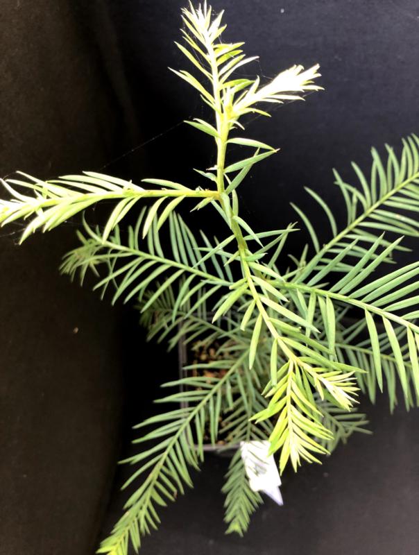 Coastal Redwood - Sequoia sempervirens, nummer R0867