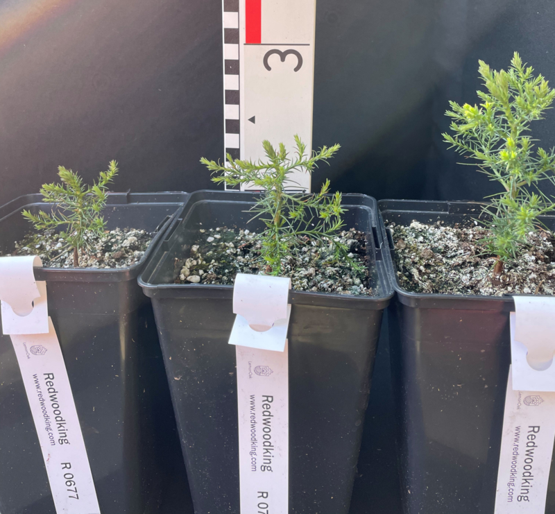 Three one year old Giant Sequoias (Sequoiadendron giganteum) from European culture