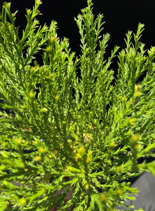 Giant Sequoia - Sequoiadendron giganteum, number R0853