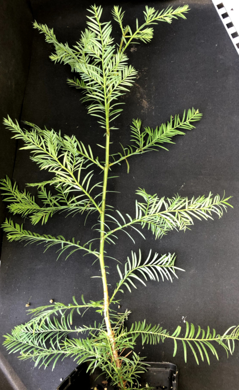 Coastal Redwood - Kustmammoetboom - Sequoia sempervirens, nummer R0866
