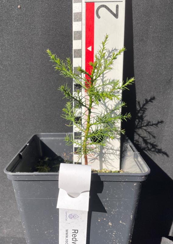 Giant Sequoia - Sequoiadendron giganteum, number R0527