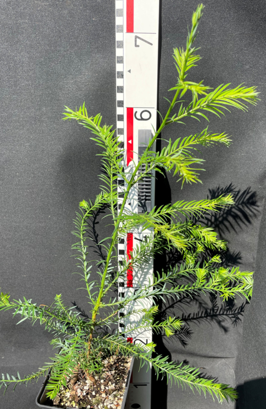 Küstenmammutbaum - Sequoia sempervirens, Nummer R0614