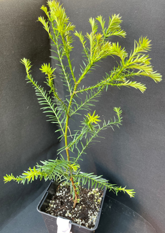 Coastal Redwood - Sequoia sempervirens, nummer R0498