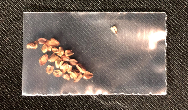 Packet of Coastal Redwood seeds (Sequoia sempervirens)
