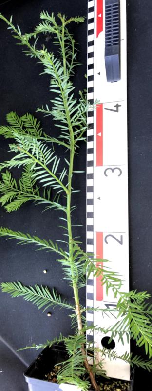Coastal Redwood - Kustmammoetboom - Sequoia sempervirens, nummer R0868