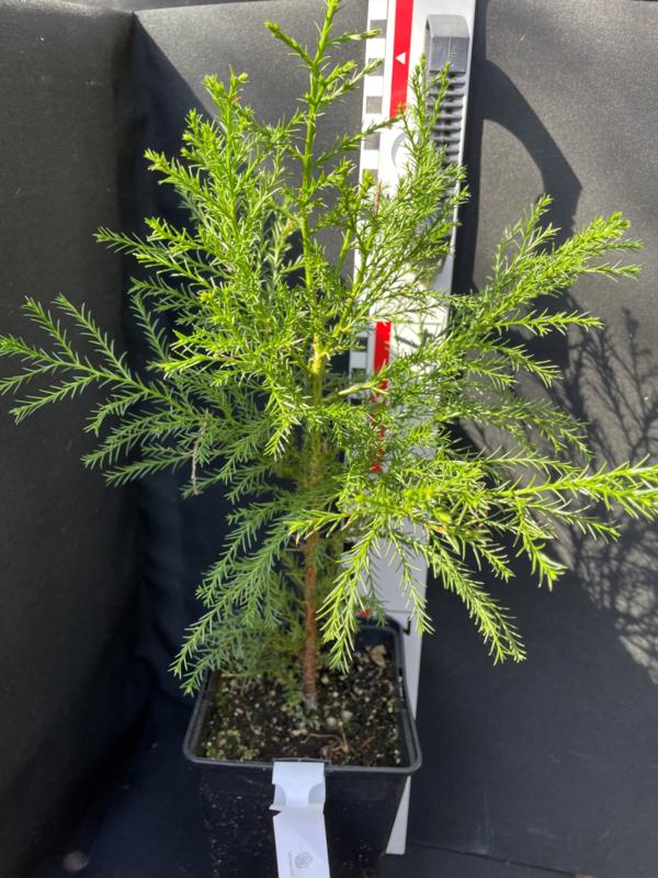 Giant Sequoia - Sequoiadendron giganteum, nummer R0836