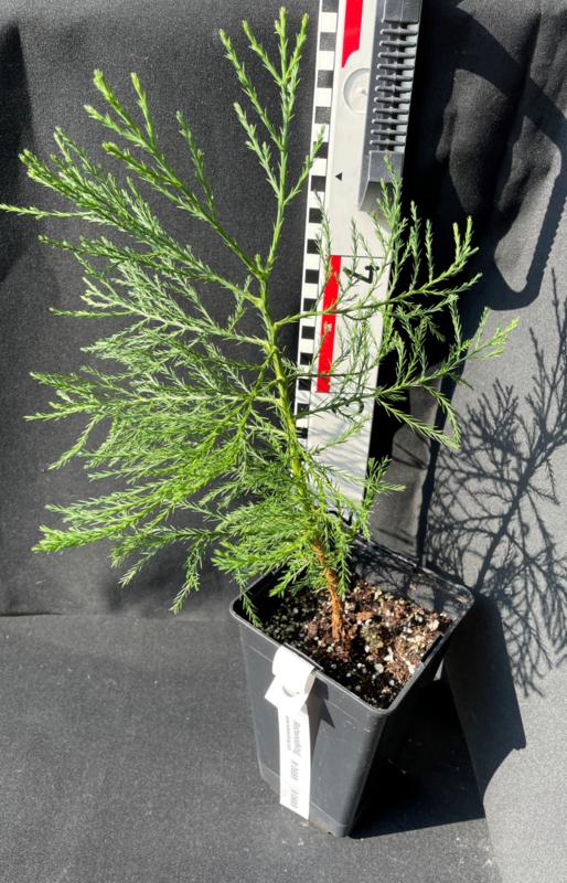 Giant Sequoia - Sequoiadendron giganteum, nummer R0689