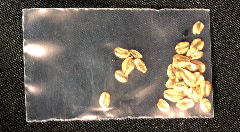 Sachet avec des graines de Séquoia Géant (Sequoiadendron giganteum)