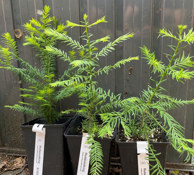 Zwei jährliche Küstenmammutbäume (Sequoia sempervirens) aus der europäischen Kultur