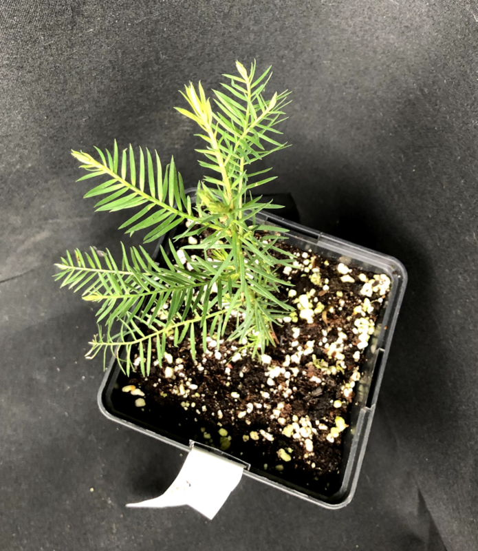 Küstenmammutbaum - Sequoia sempervirens, Nummer R0620