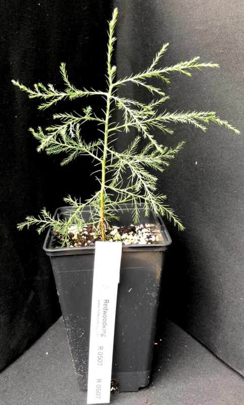Giant Sequoia - Sequoiadendron giganteum, number R0507