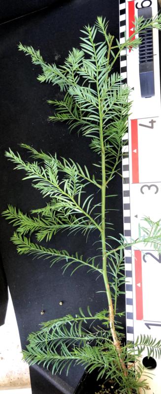 Coastal Redwood - Sequoia sempervirens, medium, nummer R0866