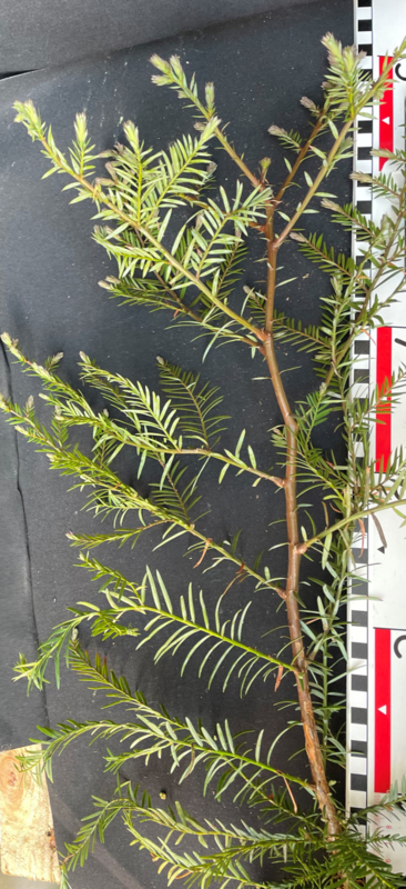 Coastal Redwood - Sequoia sempervirens, number R0861
