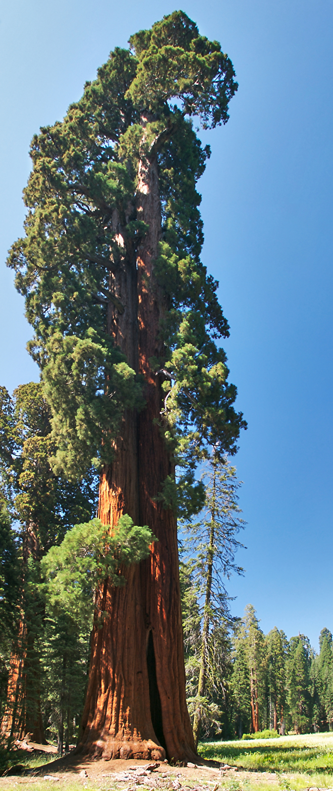 Giant Sequoia Redwood: we sell seedlings and seed kits online with postal delivery