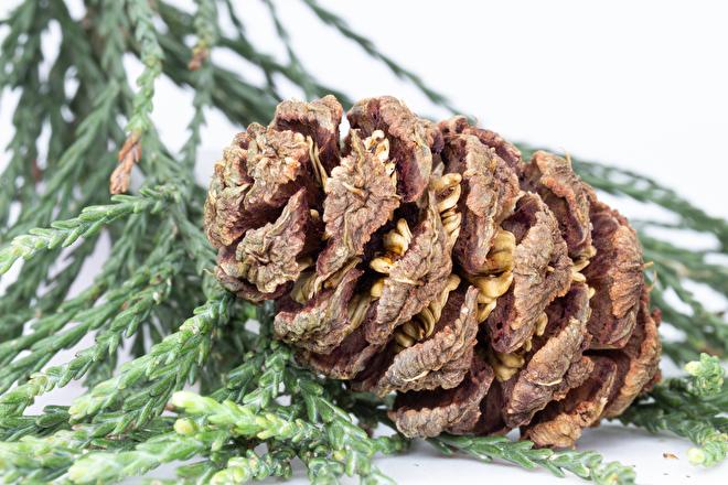 Sequoia boom: wintergroen en kegel. We verkopen jonge sequoia bomen.