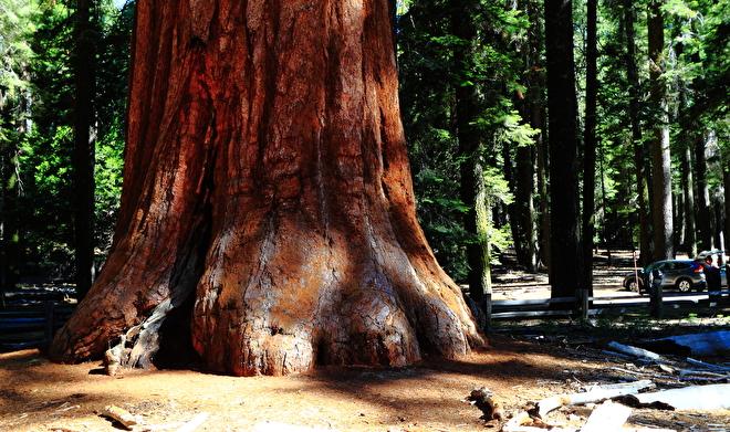 Giant Sequoia stam