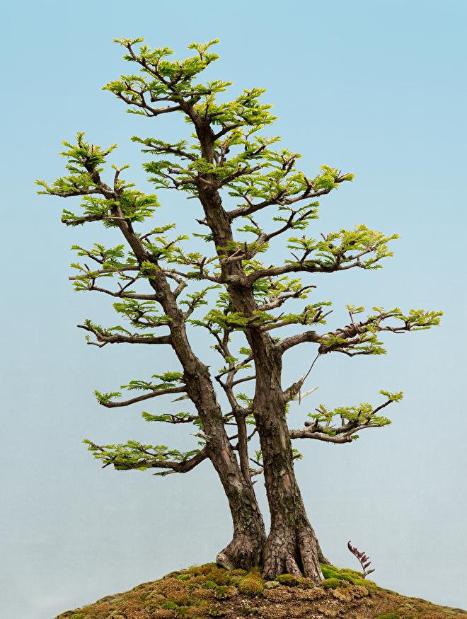 Bonsai Giant Sequoia or Coastal Redwood: they are both suitable as bonsai tree.