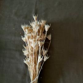 Gedroogde Nigella Orientalis Bleached - per bos