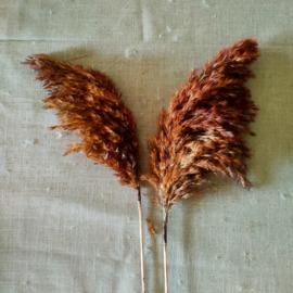 Pampaspluim donkerbruin