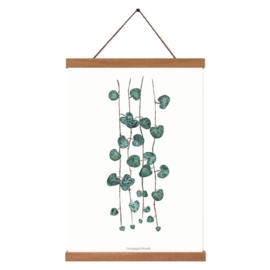Planten poster  - Ceropegia Woodii