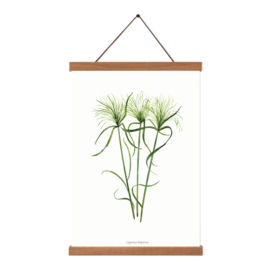 Planten poster - Cyperus Papyrus