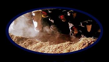 kalfsvlees horeca kopen boerderij blom didam