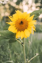 Tuinposter Zonnebloem met Hommel