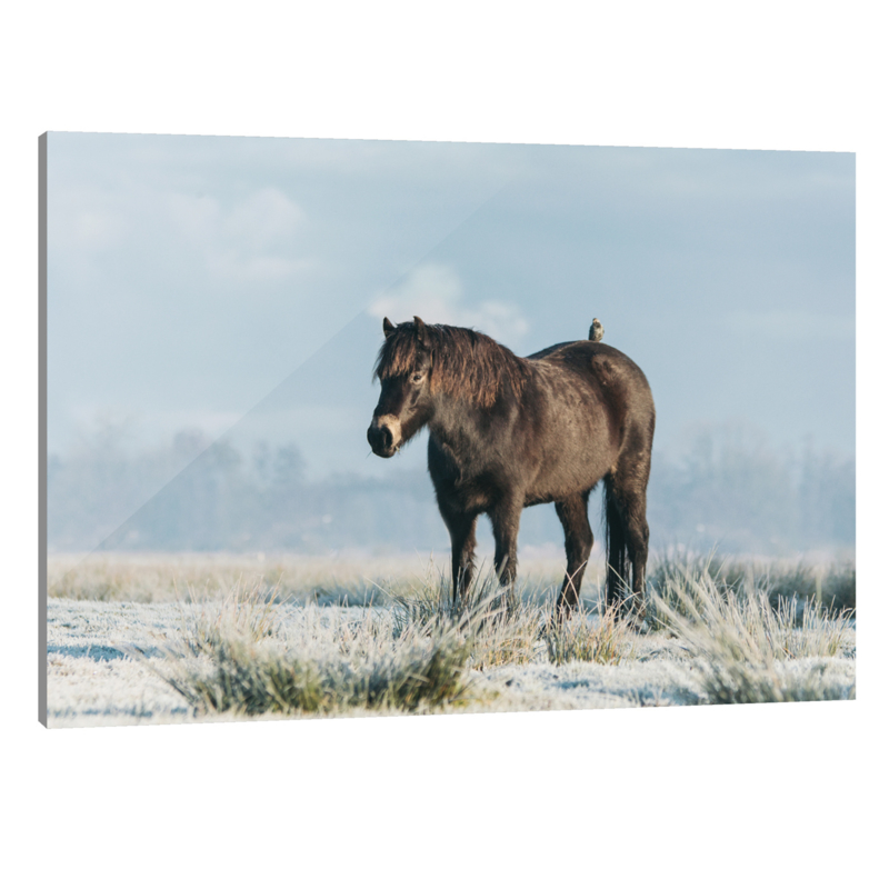Plexiglas Exmoor Pony