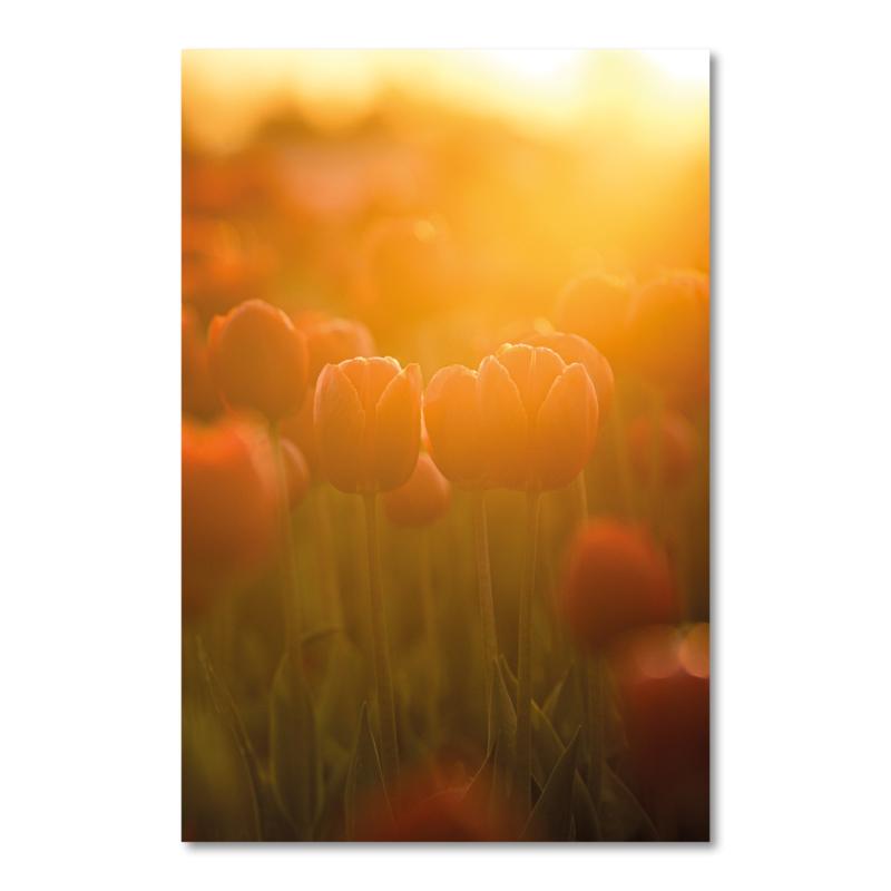 Canvas Tulpen