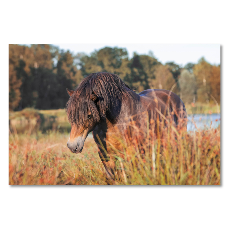 Canvas Exmoor Pony
