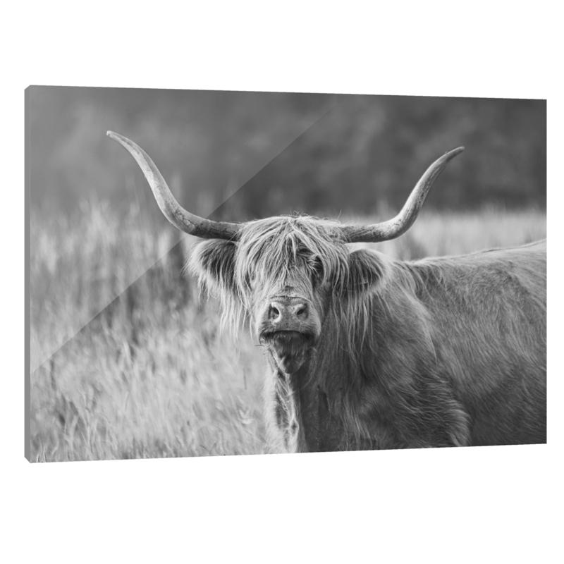 Plexiglas Schotse Hooglander Zwart Wit
