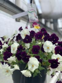 Voorjaarsbloeiers Purple/White