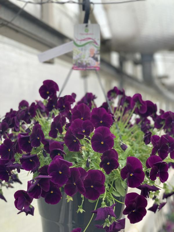 Voorjaarsbloeiers Purple