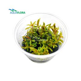 Nesaea Pedicellata 'Golden' - In Vitro Cup