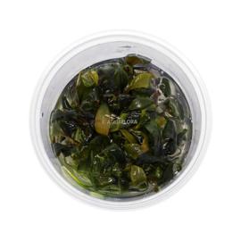 "Bucephalandra ""blue green"" In Vitro Cup"